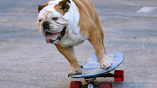 chien à roulettes4