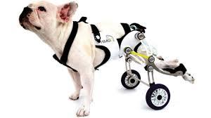 chien paralysé